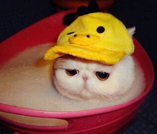chat bonnet canard